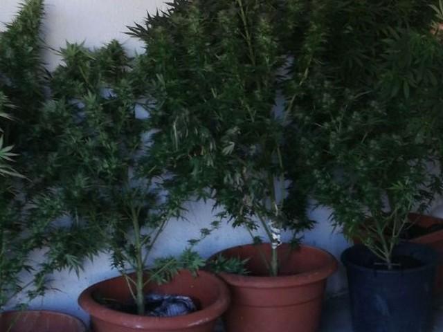MORCONE - Sorpresi ad innaffiare sette piante di cannabis. Arrestati tre giovani
