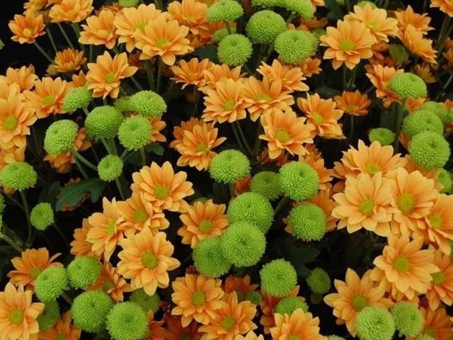 Crisantemi, tra storia e tradizioni ecco quanto costano ed alcuni consigli per conservarli più a lungo